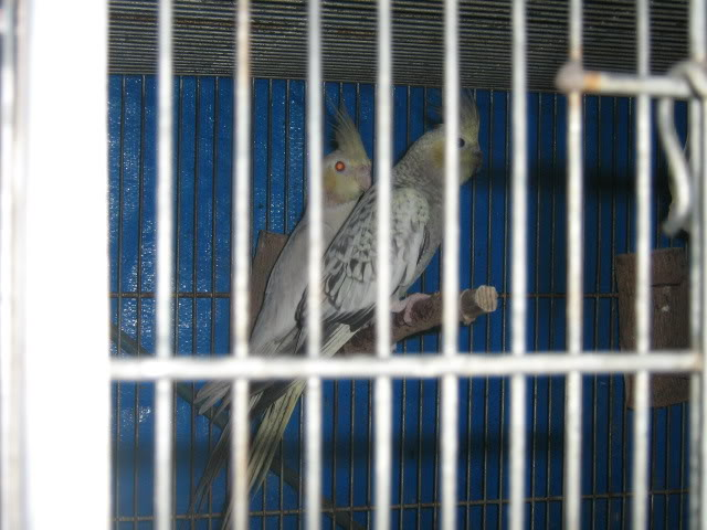 COCKATIELS - Page 2 IMG_2724