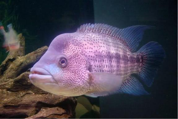 Species Profile Wolf Cichlid Parachromis Dovii