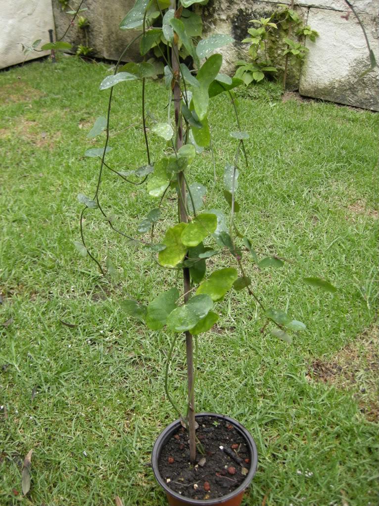 Pasiflora tropical DSCN1044