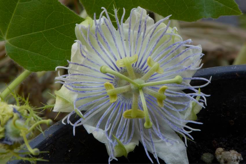 Passiflora foetida Tamaulipas (Mex) _DSC7448a