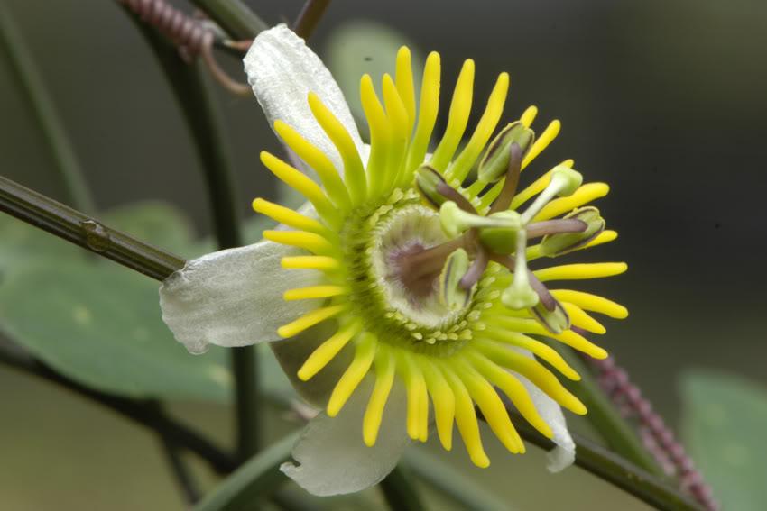 Pasiflora tropical _DSC7454