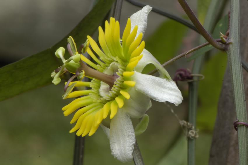 Pasiflora tropical _DSC7455