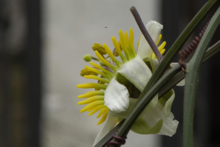 Pasiflora tropical _DSC7456