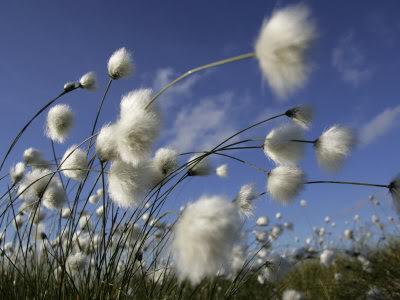 .....Gió...ơi...gió.... 1136316Cotton-Grass-Blowing-in-Wind