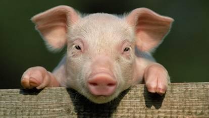 PIG 1 PIG%201_zpsjfwjb98r