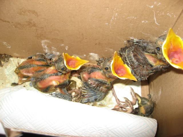Tawny Owl Rescue Birds001-1