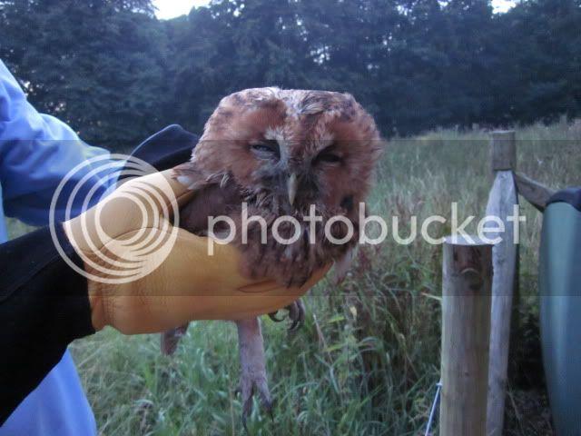 Tawny Owl Rescue Owl002