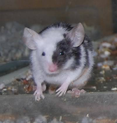 66 adult and young male mice, Polegate, E.Sussex Meeceapr1