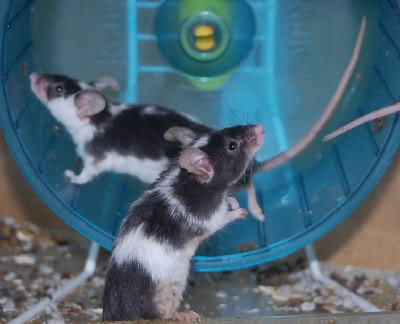 66 adult and young male mice, Polegate, E.Sussex Meeceapr2