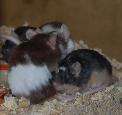 66 adult and young male mice, Polegate, E.Sussex Meeceapr6