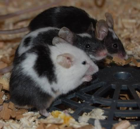 66 adult and young male mice, Polegate, E.Sussex Moremeeces2