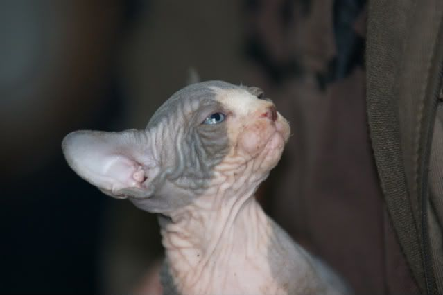 1 er Thème : Quand votre/vos chats étaient chatons DSC00541
