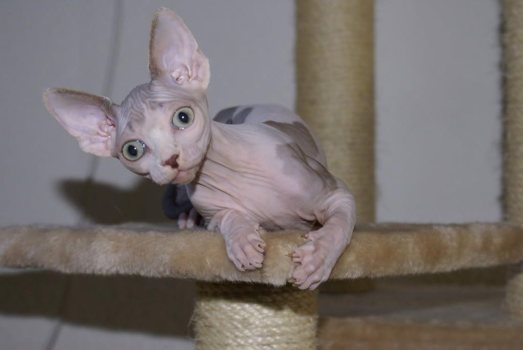 1 er Thème : Quand votre/vos chats étaient chatons Joy0601081