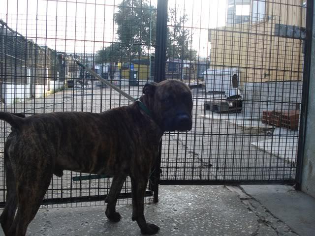 Ganesh - pit bull x boxer  4 anos  - Uz DSC05630