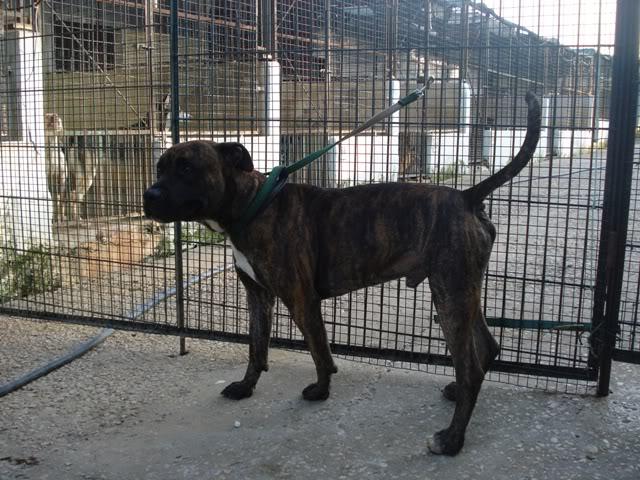 Ganesh - pit bull x boxer  4 anos  - Uz DSC05632