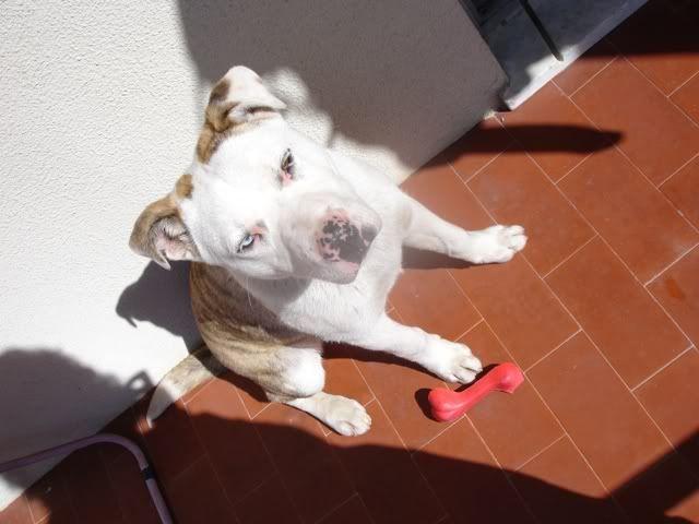 Scubba - cachorrão de 5 meses LINDO!!  um olho de cada cor DSC08576
