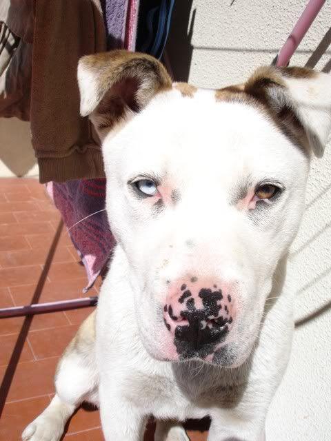 Scubba - cachorrão de 5 meses LINDO!!  um olho de cada cor DSC08582