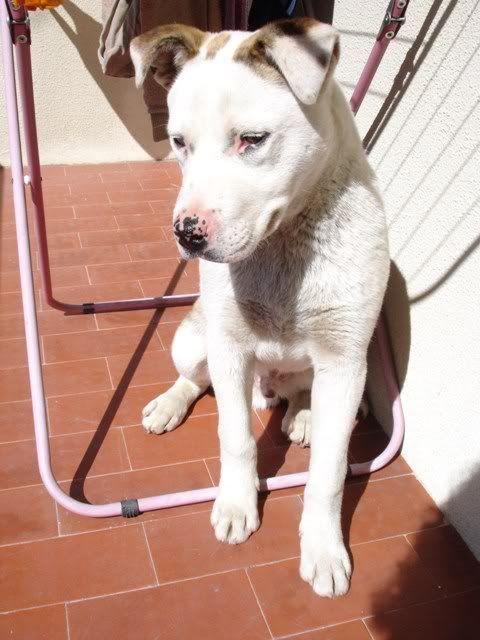 Scubba - cachorrão de 5 meses LINDO!!  um olho de cada cor DSC08583