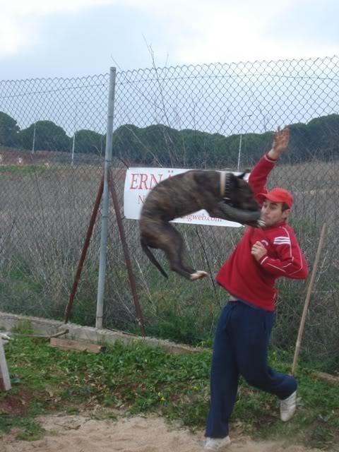 raissa,pit bull tigrada DSC05179