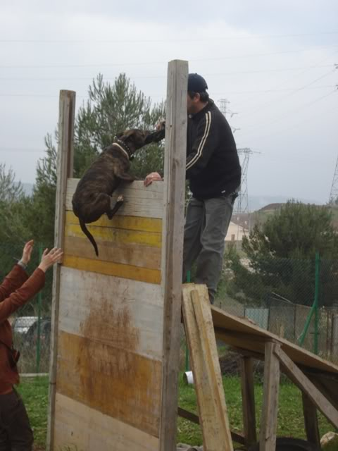 raissa,pit bull tigrada DSC05186