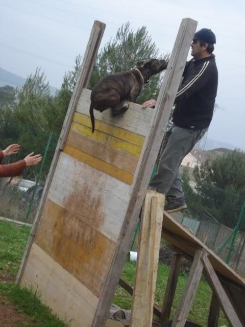 raissa,pit bull tigrada DSC05187
