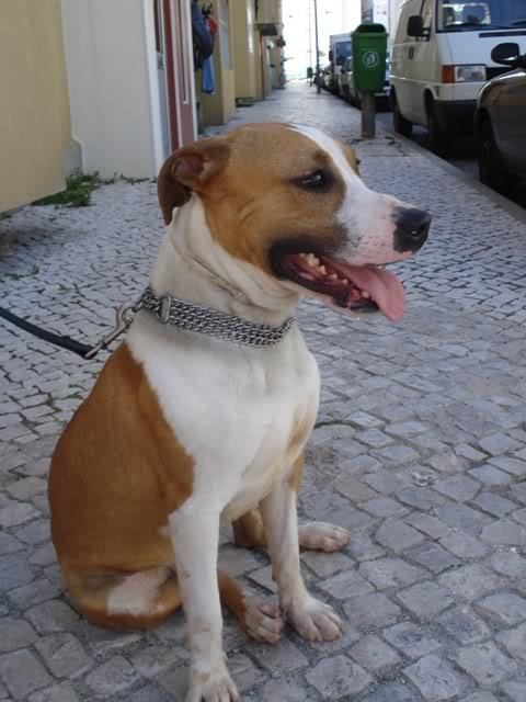 Ulisses, Pitbull bicolor, menos de 2 anos, UZ DSC02945