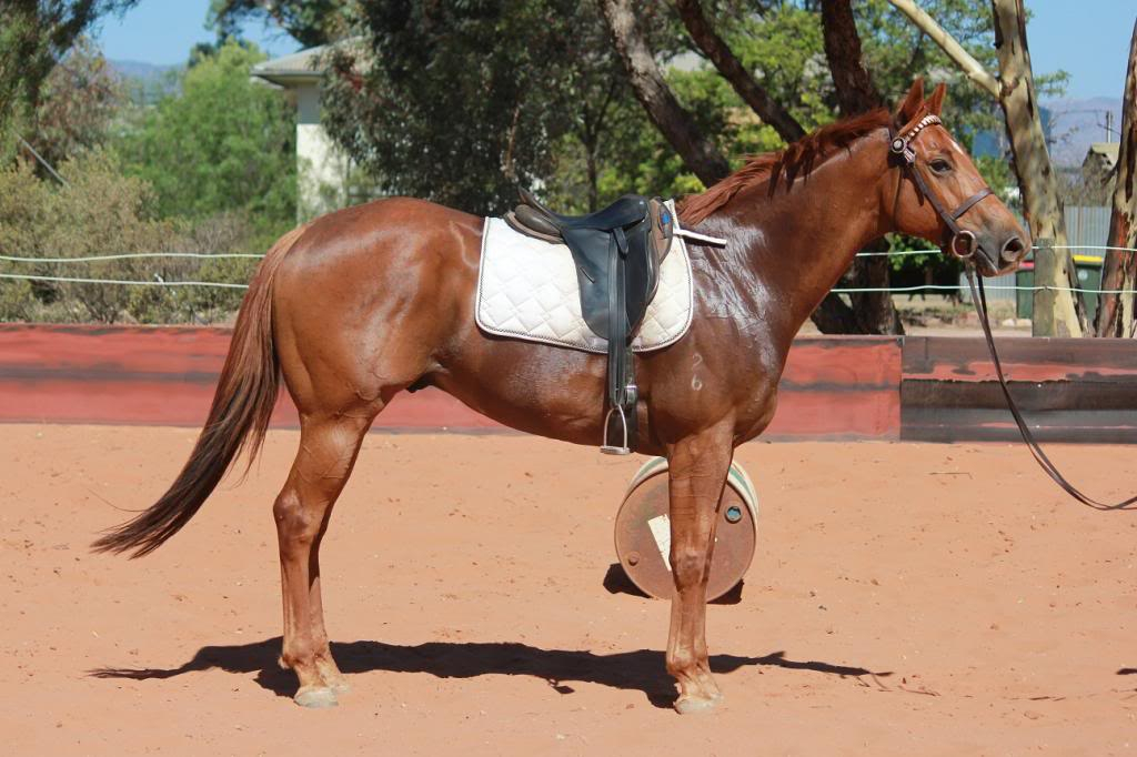 6 Year old thoroughbred gelding IMG_9852_zps6f5c31fa