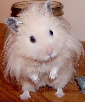 Fotografije životinja - Page 2 Hamster