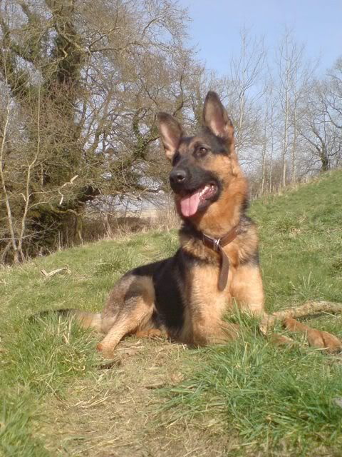 Taylor 18mth old GSD DSC09485