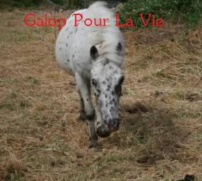 NEVADA poney hongre appaloosa - placé hors association Nvada4