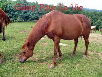 VENUS  jument cheval de selle 22 ans  700e montable Venus22