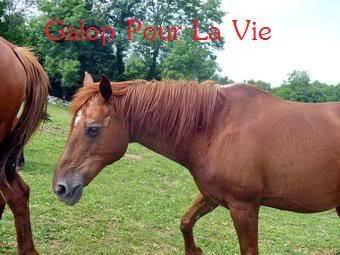 VENUS  jument cheval de selle 22 ans  700e montable Venus32