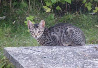Deux chatons tigrés à donner - placés IMGP5167