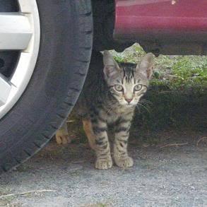 Deux chatons tigrés à donner - placés IMGP5169