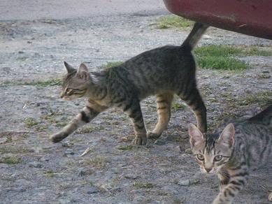 Deux chatons tigrés à donner - placés IMGP5170
