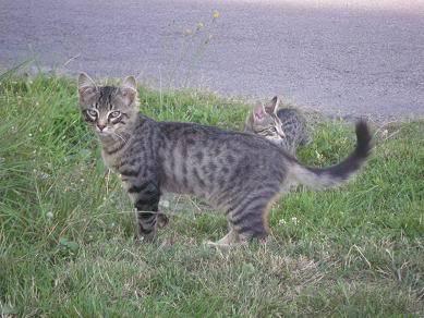 Deux chatons tigrés à donner - placés IMGP5173