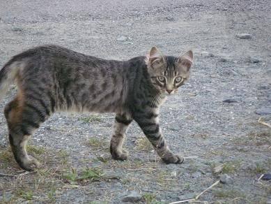 Deux chatons tigrés à donner - placés IMGP5175