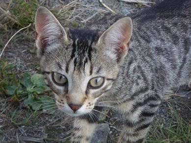 Deux chatons tigrés à donner - placés IMGP5179