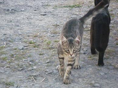 Deux chatons tigrés à donner - placés IMGP5183