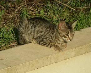 Deux chatons tigrés à donner - placés IMGP5188