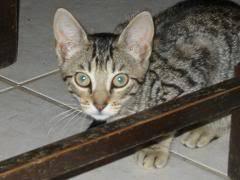 Deux chatons tigrés à donner - placés IMG_9848