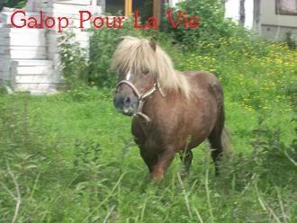 IPEO - ONC poney typé Shetland - adopté en février 2010 par Chloé Ipo
