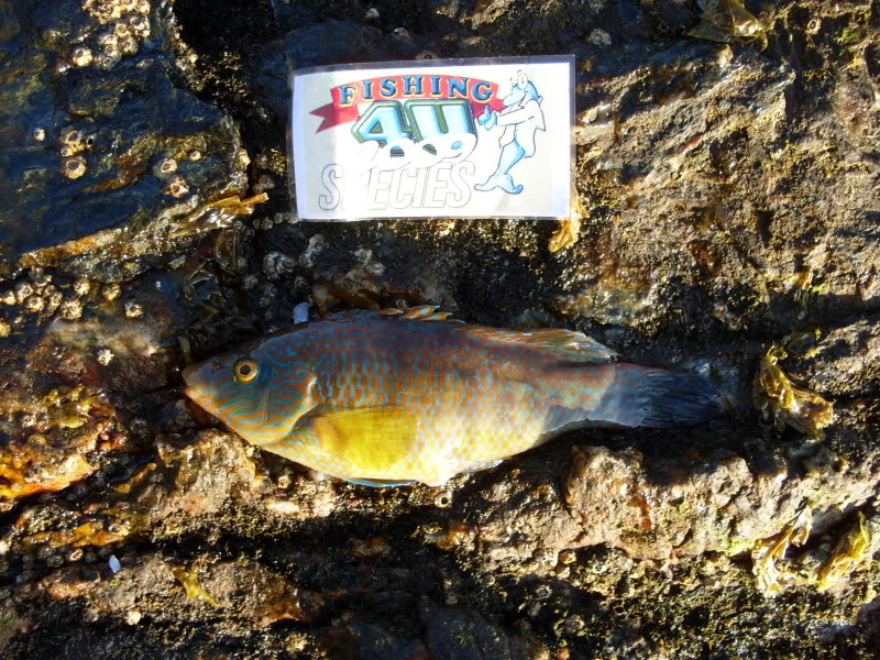 Holy Island Rover Wrasse005