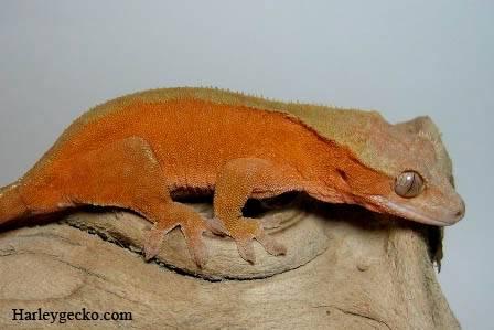 Crested Gecko Morphs Bicolor