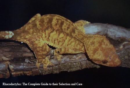 Crested Gecko Morphs Brindle