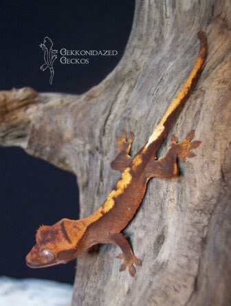 Crested Gecko Morphs ClassicFlame2