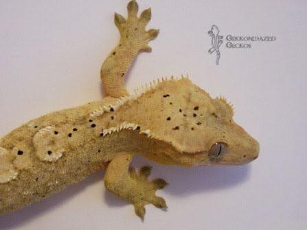 Crested Gecko Morphs Dalmation