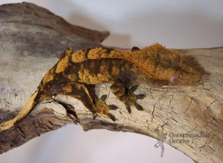 Crested Gecko Morphs Harlequin3