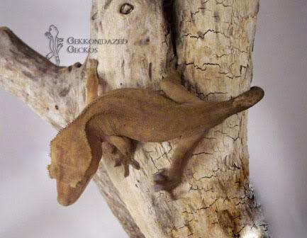 Crested Gecko Morphs Patternless