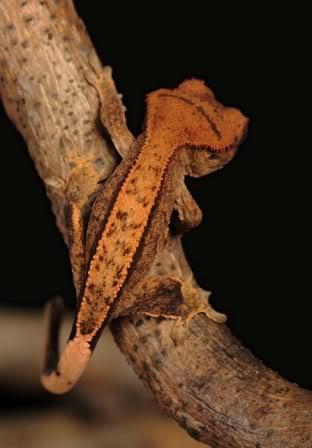 Crested Gecko Morphs ReversePinstripe